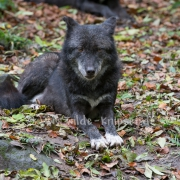 Timberwolf_3950