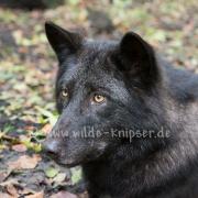 Timberwolf_3968