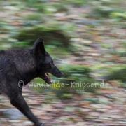 Timberwolf_3990