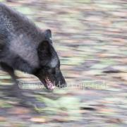 Timberwolf_4005