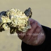 Pazifische Auster mit Seepocken (5237)