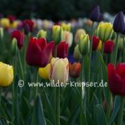 Tulpen_0500