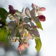 Wildapfelblüte_0510