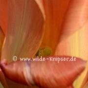 Tulpe (8059)