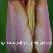Tulpe (8098)
