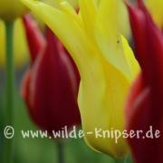 Tulpen (8091)