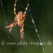Spinne, taubedeckt (9757)