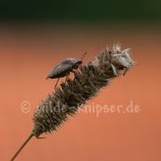 Wanze auf Grasähre (9620)