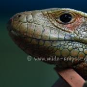 Krokodilteju_0748
