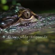 Alligator_0753