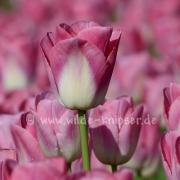 Tulpen (8125)
