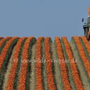 Tulpen (8132)