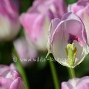 Tulpen (8163)