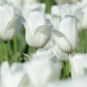 Tulpen (8169)