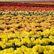 Tulpen (8170)