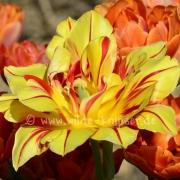 Tulpen (8176)