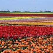 Tulpen (8177)
