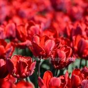 Tulpen (8184)