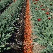 Tulpen (8210)