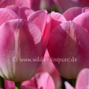 Tulpen (8216)