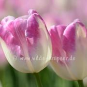 Tulpen (8225)