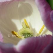 Tulpen (8226)