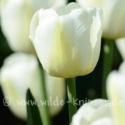 Tulpen (8227)