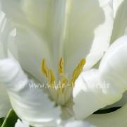 Tulpen (8245)