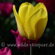 Tulpen (8293)