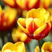 Tulpen (8306)