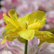 Tulpen (8310)