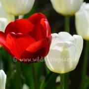 Tulpen (8335)