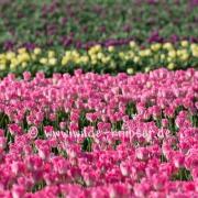 Tulpen (0539)