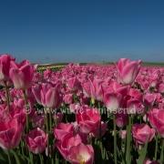 Tulpen (0579)