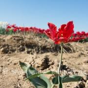 Tulpen (0583)