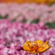 Tulpen (0596)