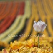 Tulpen (0599)