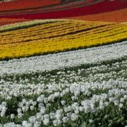 Tulpen (0602)
