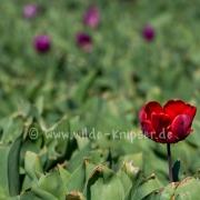 Tulpen (0604)