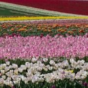 Tulpen (0608)