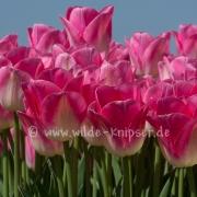Tulpen (0619)