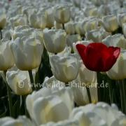 Tulpen (0633)
