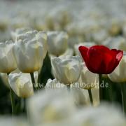 Tulpen (0637)